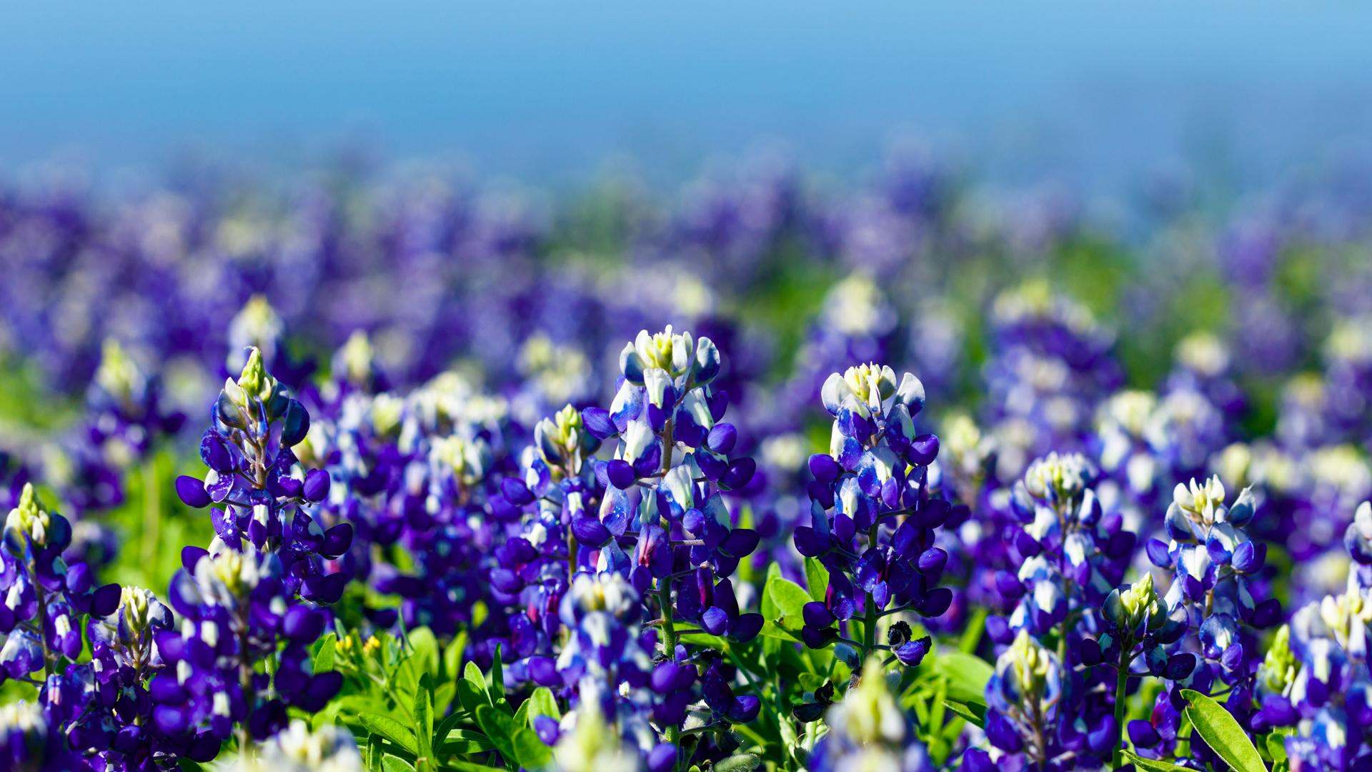 Texas Wildflowers: Bluebonnets